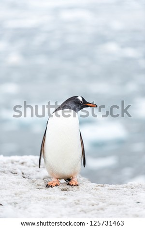 Gentoo penguin's profile, Antarctica - stock photo