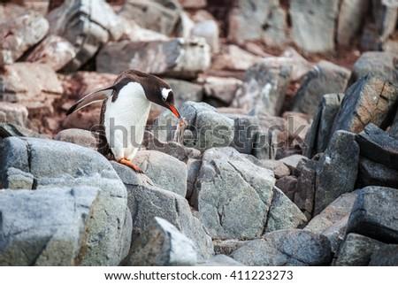 Gentoo penguin standing on rocks in Antarctica - stock photo