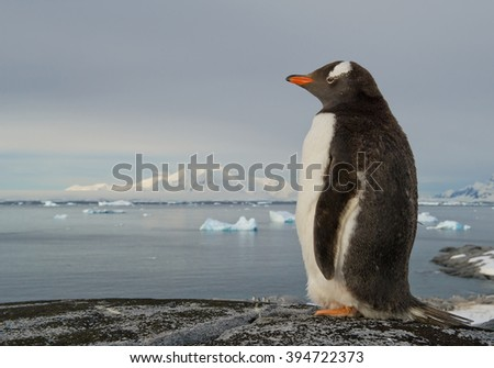 Gentoo penguin standing on the rock, snowy mountains in background, Antarctic Peninsula - stock photo