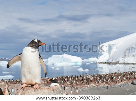 Gentoo penguin, standing on the stone, looking at the colony, icebergs in background, sunny day, Antarctic Peninsula - stock photo