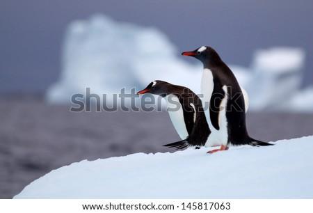 Gentoo Penguins - stock photo
