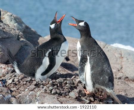 Gentoo Penguins, Antarctica - stock photo