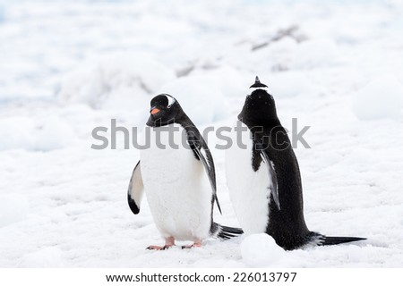 Gentoo penguins couple on the white snow - stock photo