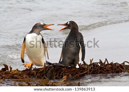 Gentoo Penguins fighting - stock photo