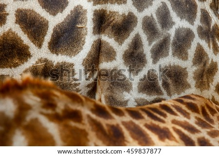 Genuine leather skin of giraffe with light and dark brown spots,Leather giraffe,leather,giraffe,textured skin of giraffe, textured skin. - stock photo
