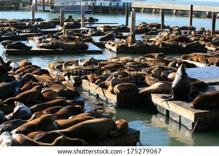 Genuine Wild California sea lions AKA Zalophus californianus Lounge in the sun on docks in the harbor of Pier 39 in San Francisco California. The San Francisco Sea Lions are a Tourist Attraction - stock photo