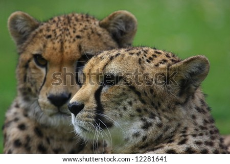 Gepard - stock photo