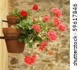 geranium on wall - stock photo