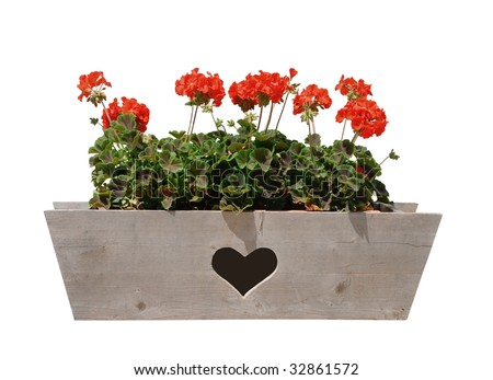 Geraniums in wooden window box - stock photo