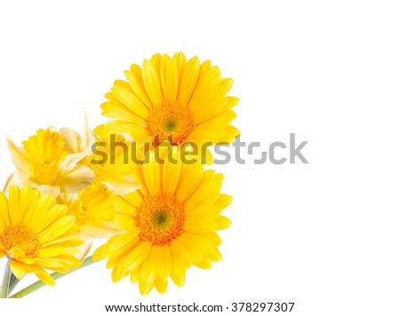 Gerber Daisy, and narcissus isolated on white background - stock photo