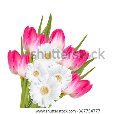 Gerber Daisy and tulip isolated on white background - stock photo