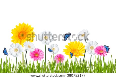 Gerber Daisy, butterfly isolated on white background - stock photo