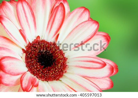Gerber daisy flower on green background - white, pink and red tint - macro flower background - stock photo
