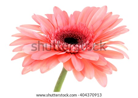Gerber daisy flower on white background - pink and salmon tint - macro flower background - stock photo