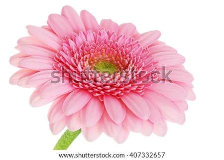 Gerber daisy flower on white background - pink - macro flower background - stock photo