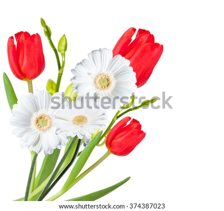 Gerber Daisy, isolated on white background - stock photo
