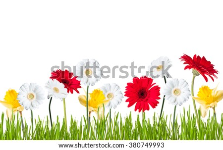 Gerber Daisy, narcissus isolated on white background - stock photo