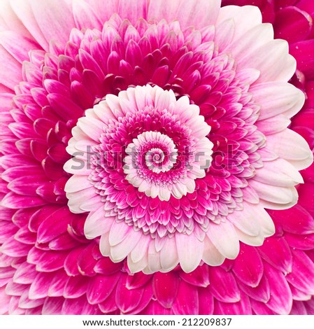 Gerber flower infinity spiral abstract background. - stock photo
