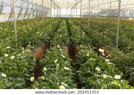 gerber flower plants grown in nursery under controlled climate, Maharashtra, India. - stock photo