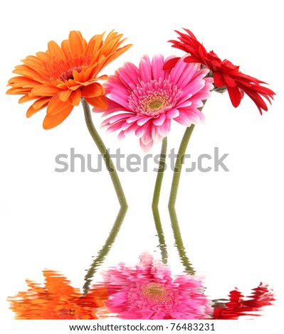 Gerber flowers blossoms reflected in water - stock photo