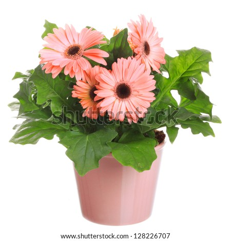 Gerber's  flowers in a flowerpot isolated on a white background. - stock photo