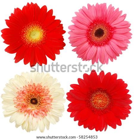 Gerbera blooms - stock photo