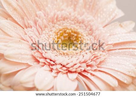 Gerbera Closeup  - stock photo
