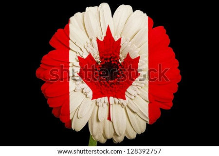 gerbera daisy flower in colors national flag of canada on black background as concept and symbol of love, beauty, innocence, and positive emotions - stock photo