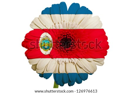 gerbera daisy flower in colors national flag of columbia on white background as concept and symbol of love, beauty, innocence, and positive emotions - stock photo
