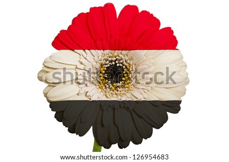 gerbera daisy flower in colors national flag of egypt on white background as concept and symbol of love, beauty, innocence, and positive emotions - stock photo