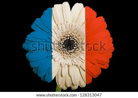 gerbera daisy flower in colors national flag of france on black background as concept and symbol of love, beauty, innocence, and positive emotions - stock photo