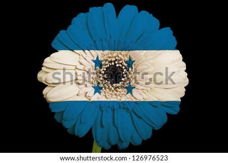 gerbera daisy flower in colors national flag of honduras on black background as concept and symbol of love, beauty, innocence, and positive emotions - stock photo