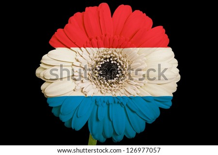 gerbera daisy flower in colors national flag of netherlands on black background as concept and symbol of love, beauty, innocence, and positive emotions - stock photo