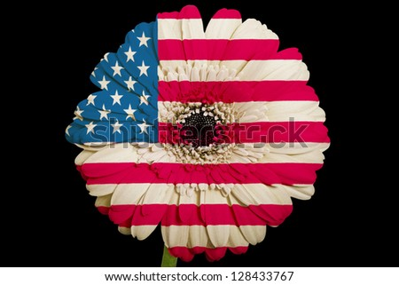 gerbera daisy flower in colors national flag of us on black background as concept and symbol of love, beauty, innocence, and positive emotions - stock photo