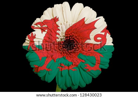 gerbera daisy flower in colors national flag of wales on black background as concept and symbol of love, beauty, innocence, and positive emotions - stock photo