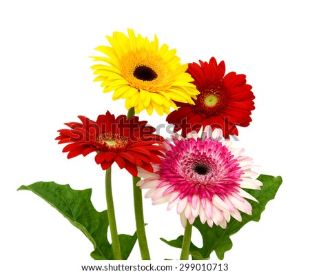 Gerbera Daisy isolated on white background - stock photo