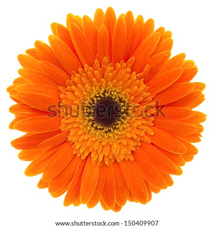 Gerbera. Deep focus. No dust. No pollen. More flower head in my portfolio.  - stock photo