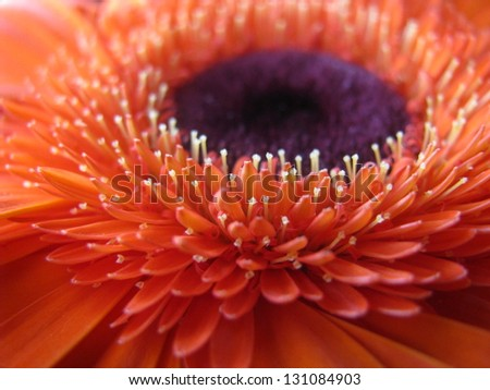 gerbera flower - stock photo