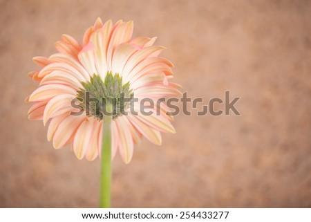 gerbera  flower. - stock photo