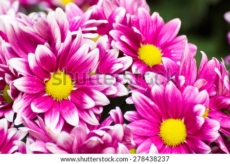 Gerbera flower of the daisy family, native to Asia and Africa, with large brightly colored flowers. - stock photo