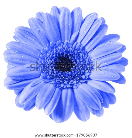 Gerbera flower with water drop isolated on white background - stock photo