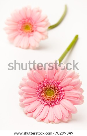 Gerbera flowers. Studio shot of beautiful fresh gerberas on a white background. - stock photo