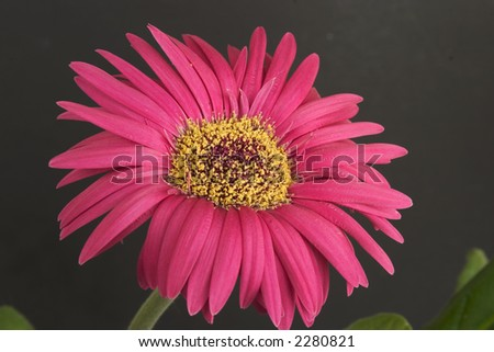 Gerbera or Red Painted Daisy - stock photo