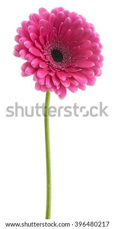 gerbera pink color on the stem - stock photo