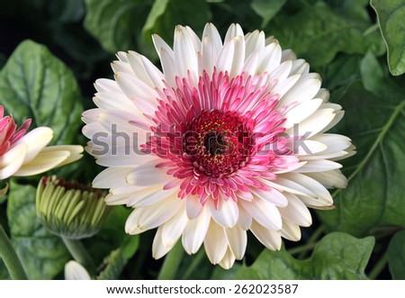 Gerbera white flower with pink  mid among green leaves - stock photo