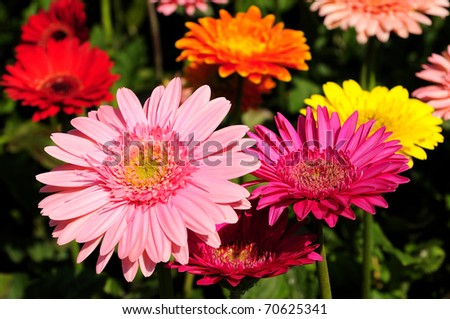 GERBERAS in garden  Compositae flower - stock photo
