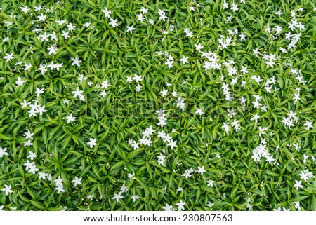 Gerdenia Crape Jasmine with green leaves wall background - stock photo