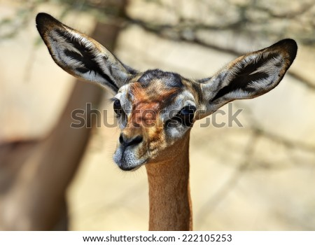 Gerenuks gazelle on the African savannah in the wild - stock photo