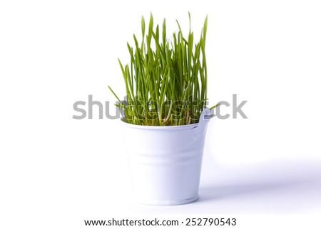 germ wheat - stock photo