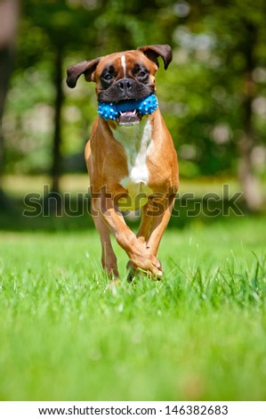 german boxer dog running with a toy - stock photo
